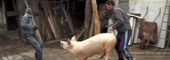 Oarta de Sus-Taiatul porcului-Foto